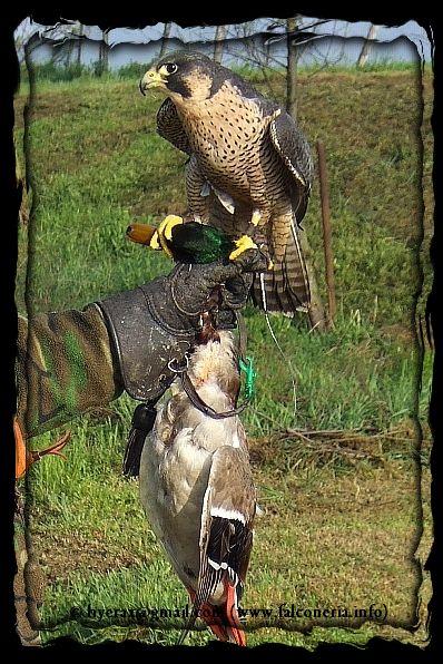 Aereo Da Caccia Falco : Attrezzature falconeria